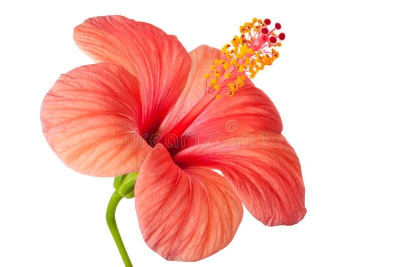 Fleur rose de ketmie photo stock