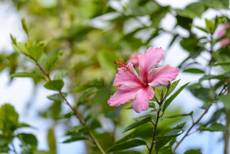 Fleur rose de ketmie dans un jardin photos stock
