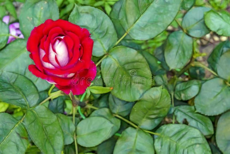 fleur rose de l'?l?gance en nature photographie stock