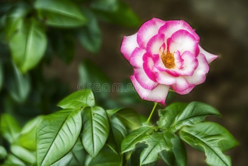 fleur rose de l'?l?gance en nature photo stock
