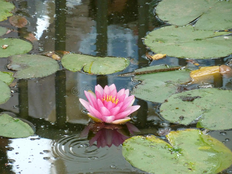Fleur rose de Lilly photos stock