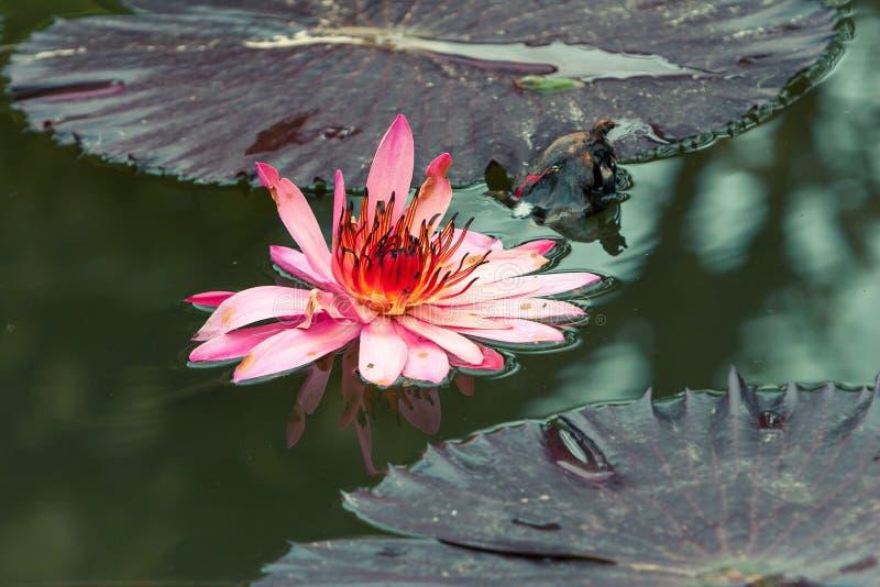 Fleur rose de Lilly de l'eau entièrement déployée image stock