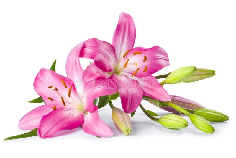 Fleur rose de lis d'isolement sur le blanc photos stock