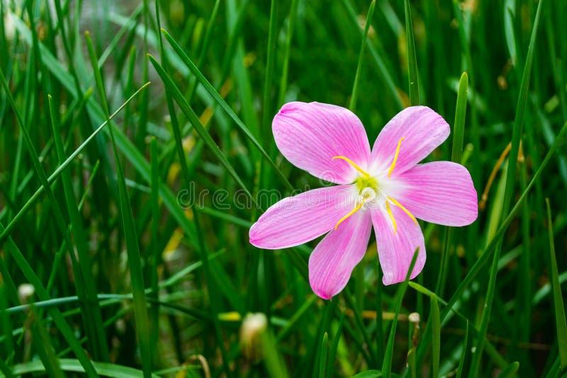 Fleur rose de lis de pluie photographie stock libre de droits