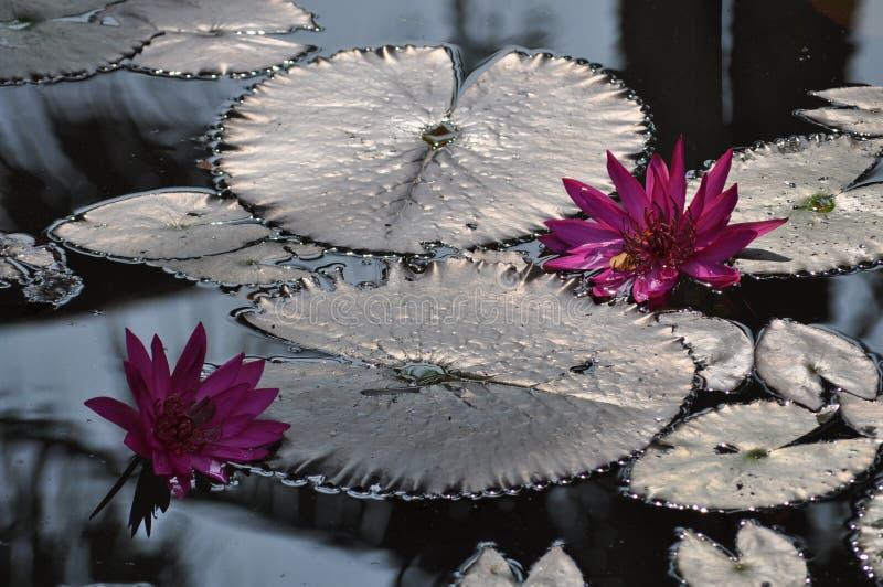 Fleur rose de lis sur un lac photo stock