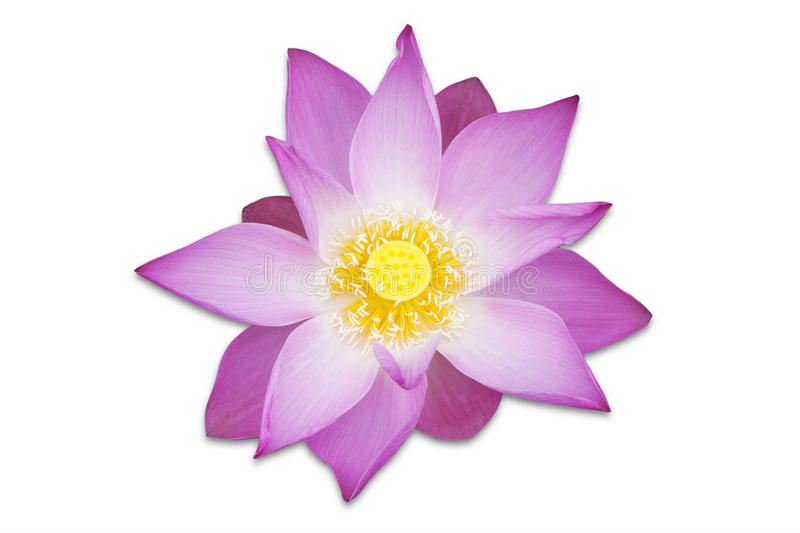 Fleur rose de Lotus - d'isolement image stock