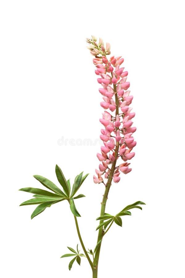 Fleur rose de Lupine sur le blanc photo libre de droits