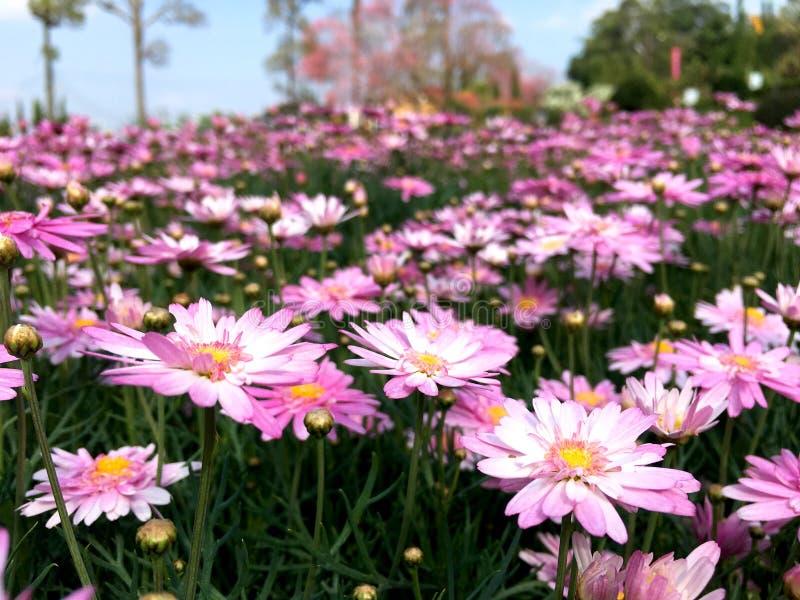 Fleur rose de marguerite de marguerite des prés fleurissant dans le jardin photo libre de droits