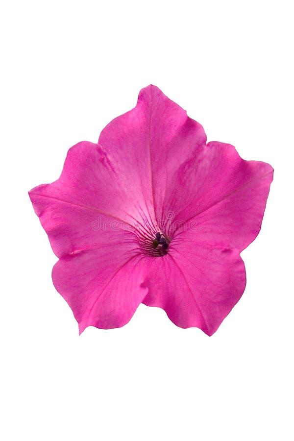 Fleur rose de pétunia image libre de droits