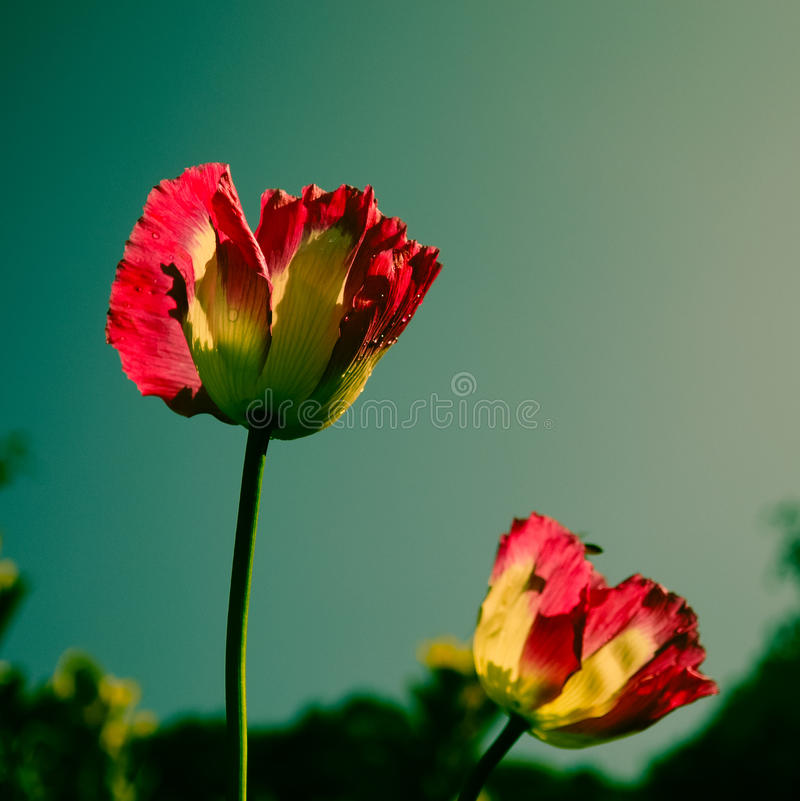 Fleur rose de pavot à opium photographie stock