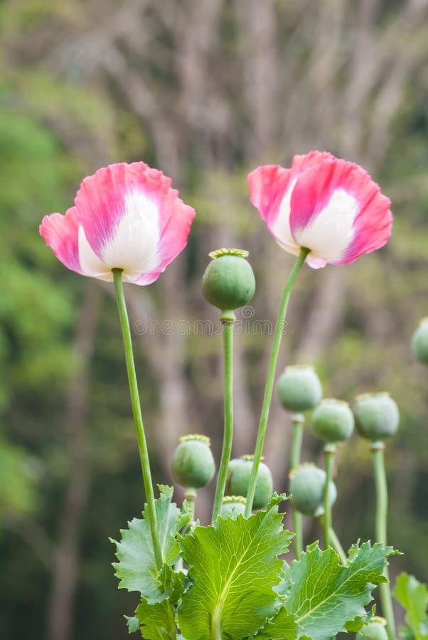 Fleur rose de pavot à opium photographie stock libre de droits