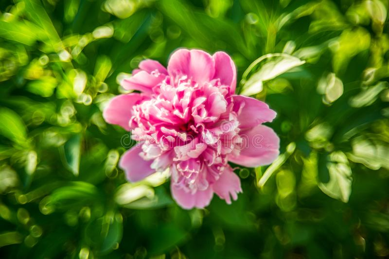 Fleur rose de pivoine image stock