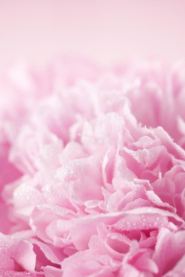 Fleur rose de pivoine photographie stock libre de droits