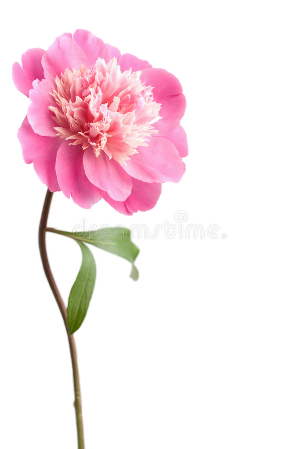 Fleur rose de pivoine d'isolement photos stock