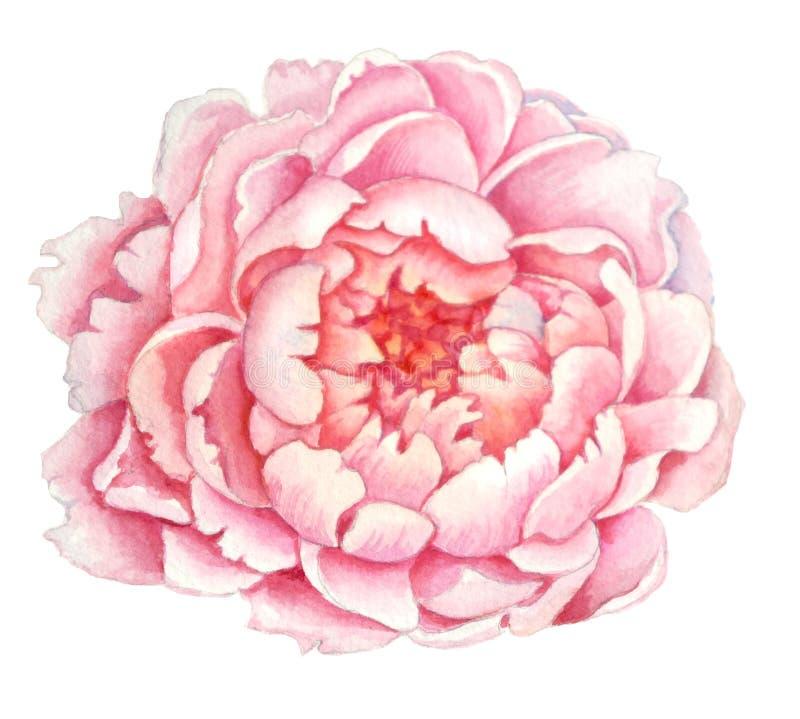 Fleur rose de pivoine, fleur d'une belle pivoine rose sensible d'arbre illustration stock