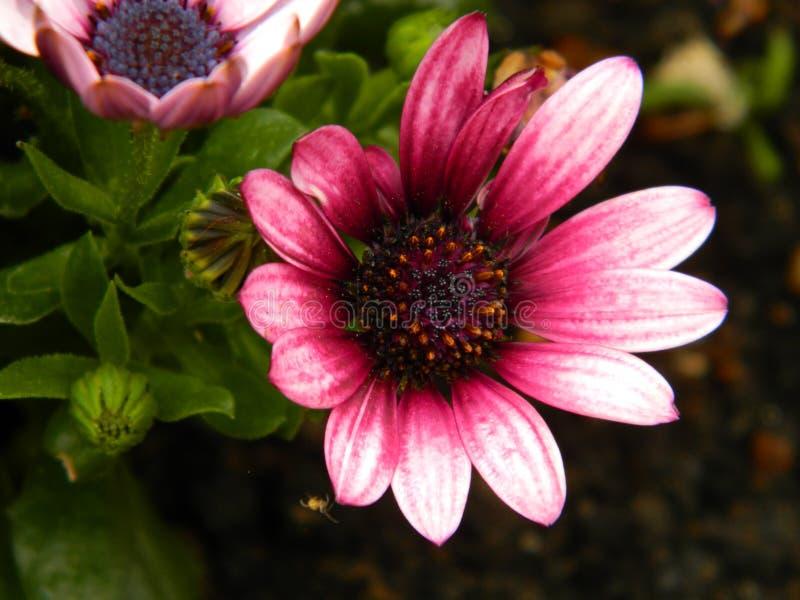 Fleur rose de plan rapproché image stock