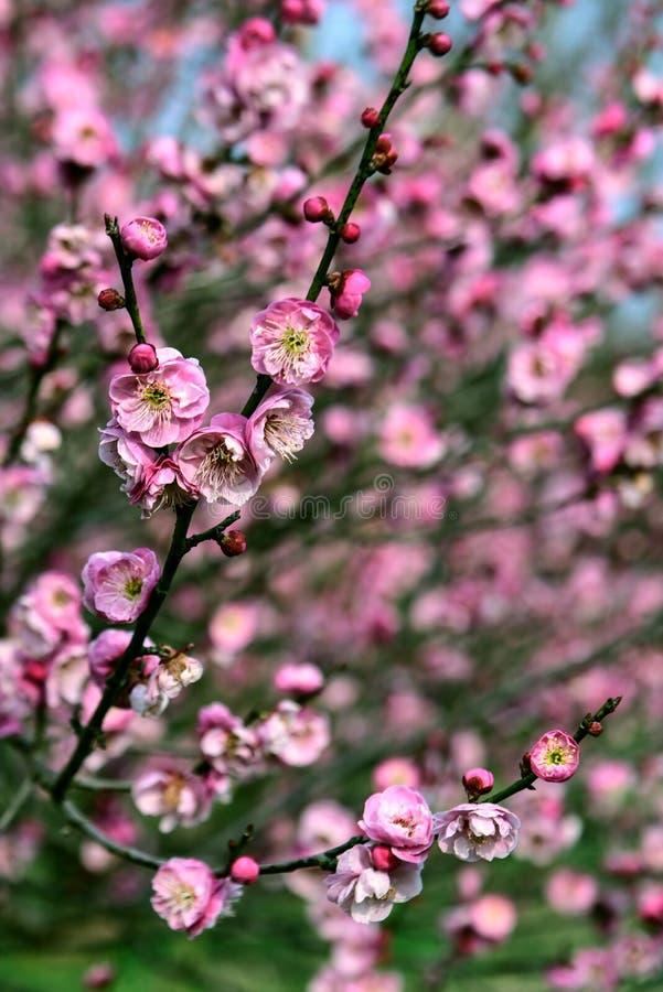 Fleur rose de plomb photos libres de droits