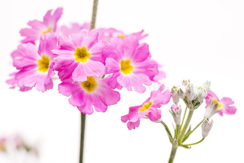 Fleur rose de primula image stock