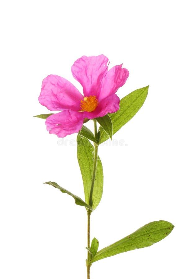 Fleur rose de roche-rose image libre de droits
