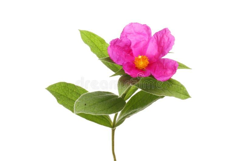 Fleur rose de roche images libres de droits