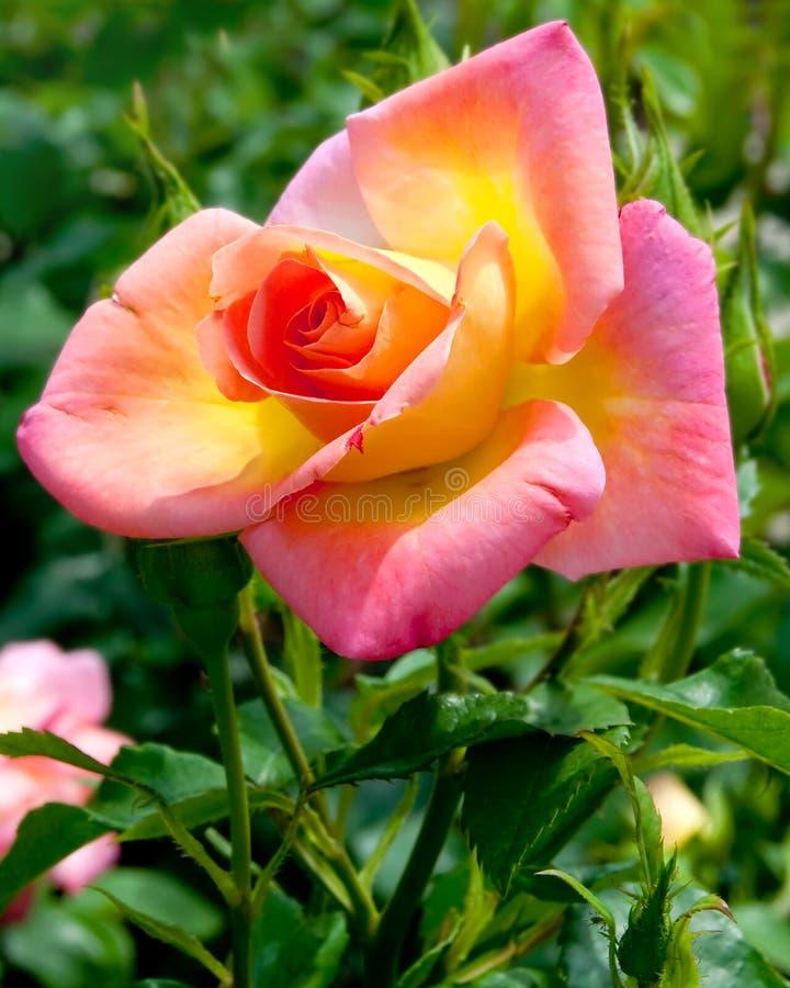Fleur rose de rose et de jaune photos libres de droits
