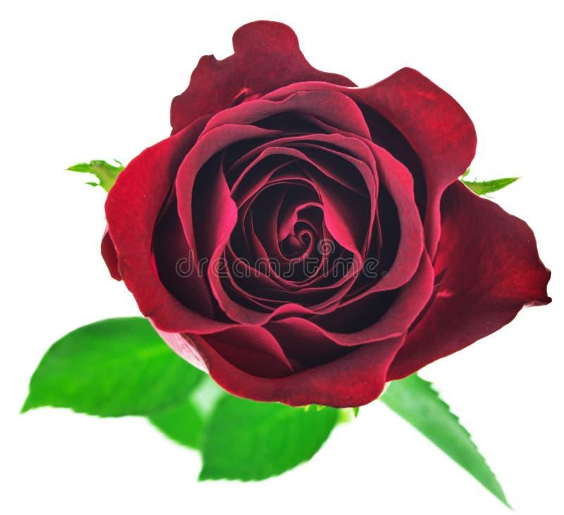 Fleur rose de rouge d'isolement sur le fond blanc photo libre de droits