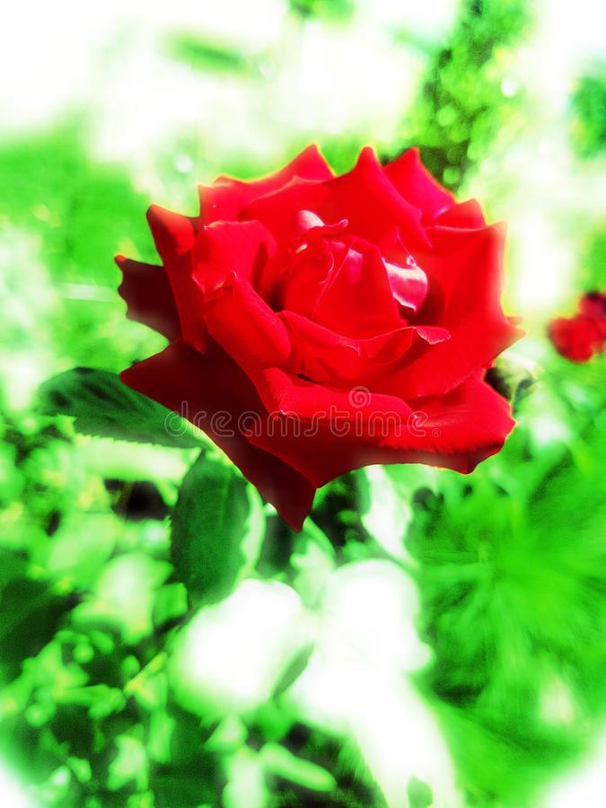Fleur rose de rouge photo libre de droits