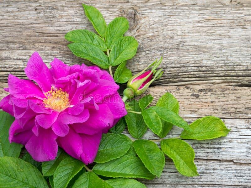 Fleur rose de rugosa rose-foncé avec les feuilles et le bourgeon images stock