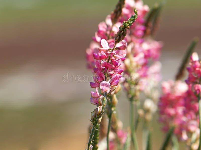 Fleur rose de sainfoin commun, viciifolia d'Onobrychis photo stock
