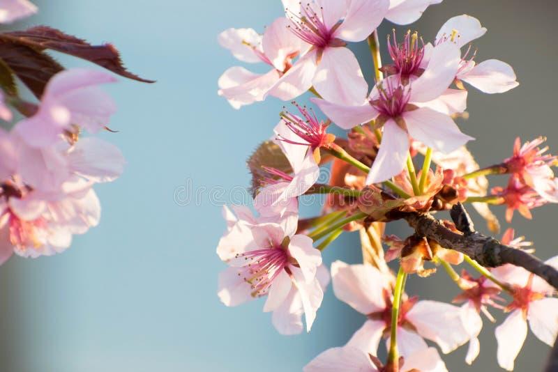 Fleur rose de Sakura de cerise Fin vers le haut de branche et de fleurs Scène de ressort, fond naturel photo libre de droits