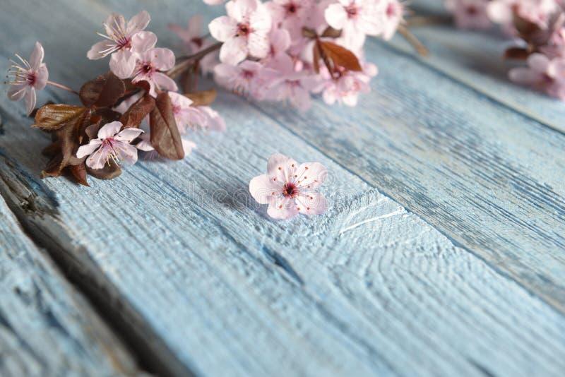 Fleur rose de fleur de Sakura sur la table en bois rustique bleue Fleurs de fleurs de cerisier sur le fond de cru avec l'endroit  photo stock