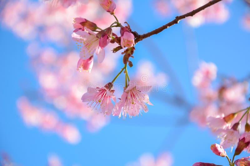 Fleur rose de Sakura sur le fond de ciel bleu photos stock