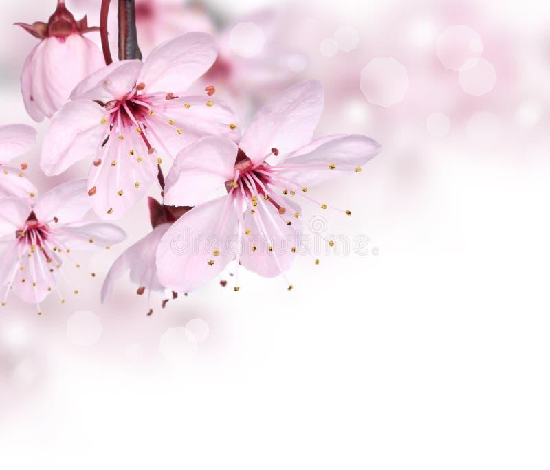 Fleur rose de source photographie stock