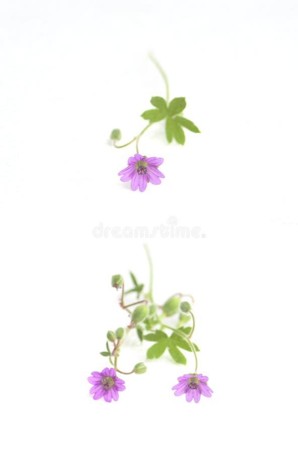 Fleur rose de source d'isolement sur le blanc image libre de droits