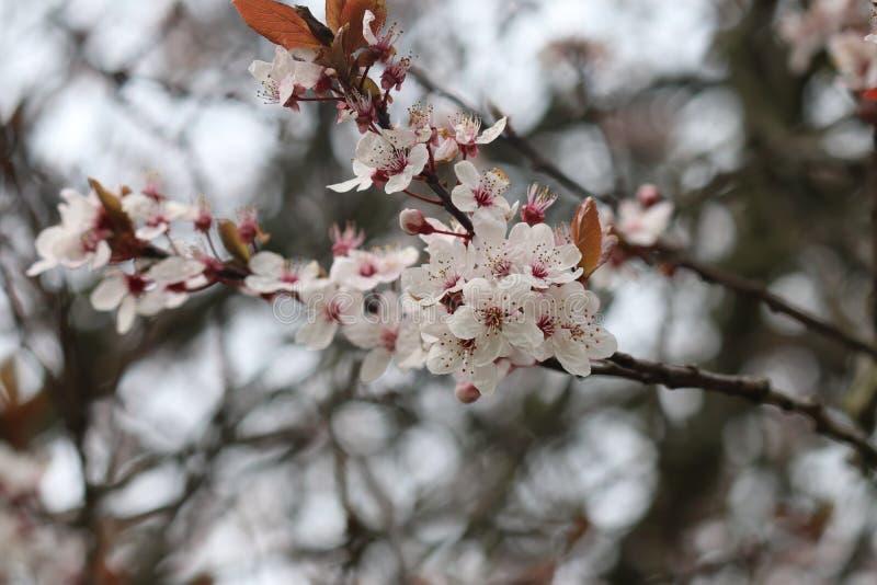 Fleur rose de fleur sur la branche d'arbre image libre de droits