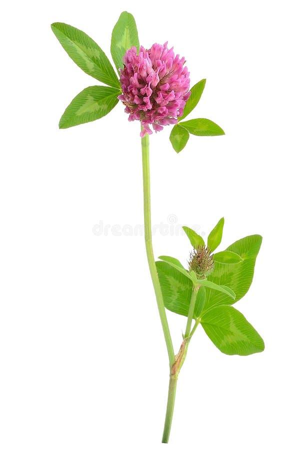 Fleur rose de trèfle photo libre de droits