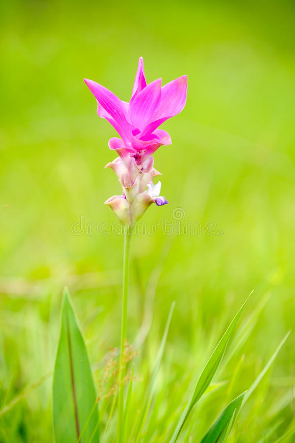 Fleur rose de tulipe du Siam photo libre de droits