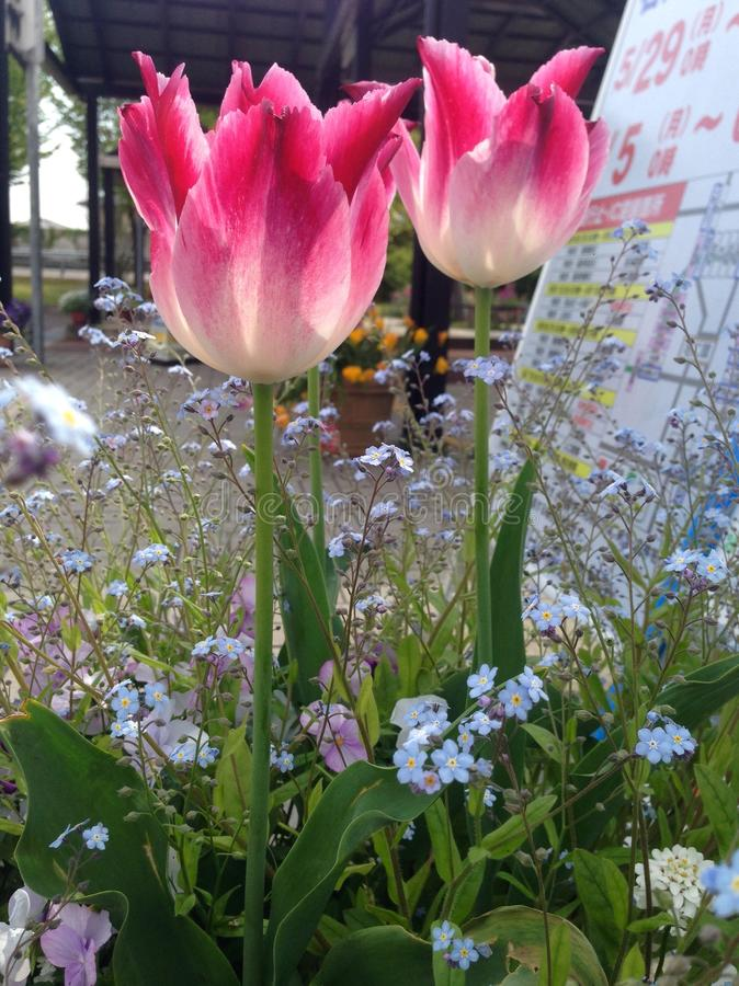 Fleur rose de tulipes image libre de droits