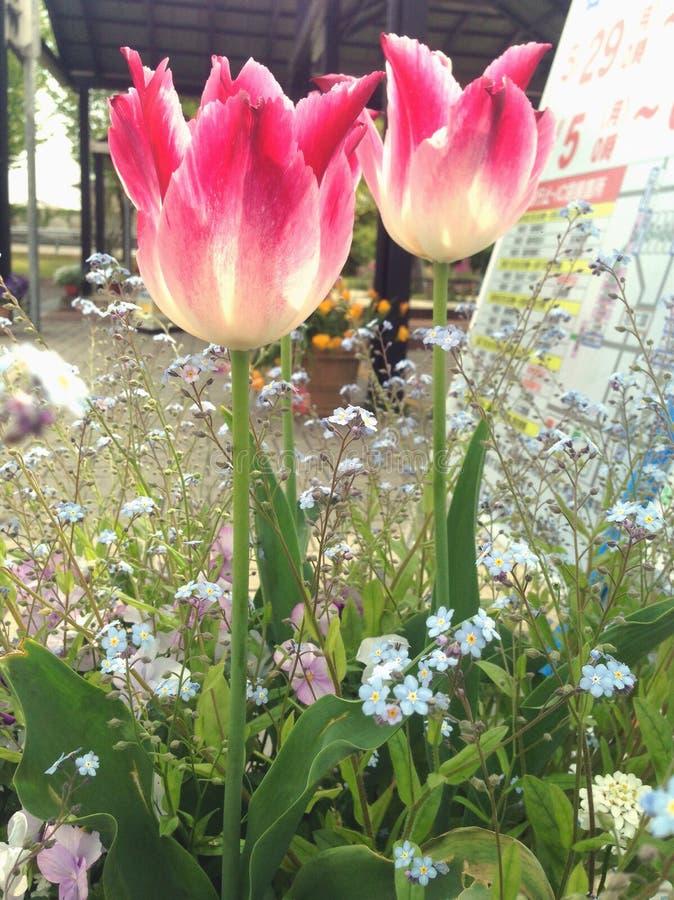 Fleur rose de tulipes image stock