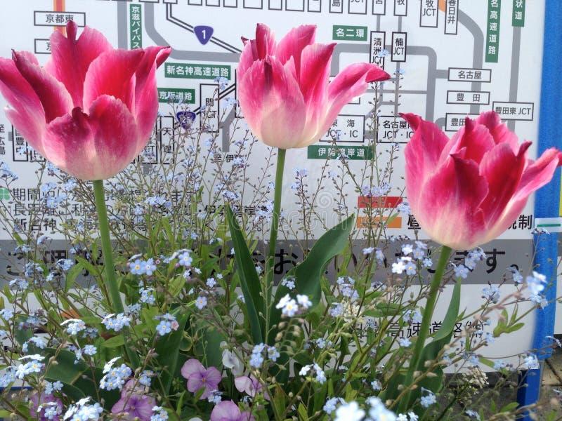 Fleur rose de tulipes photo libre de droits
