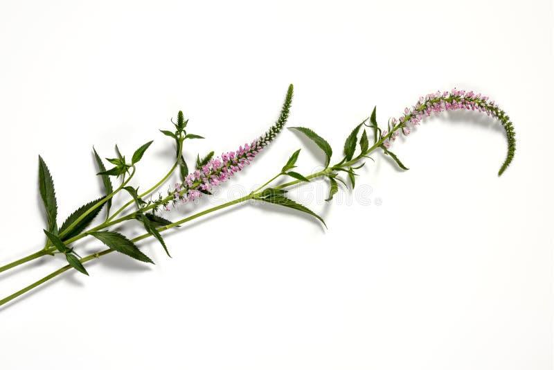 Fleur rose de fleur de vulpin photo stock