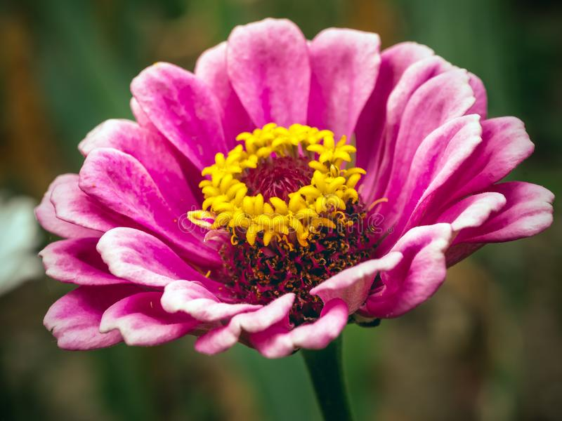 Fleur rose de Zinnia images libres de droits