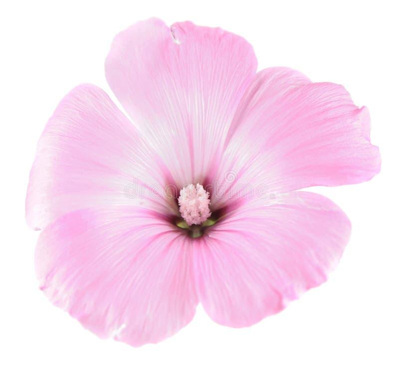 Fleur rose des trimestris de Lavatera ou de la mauve annuelle d'isolement sur le blanc photo libre de droits
