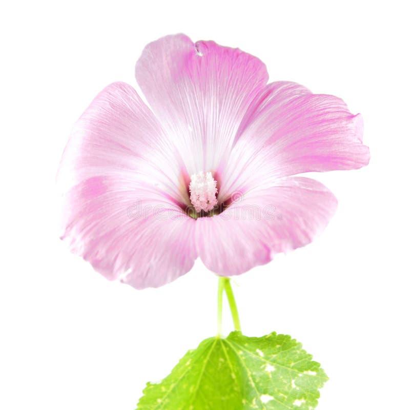 Fleur rose des trimestris de Lavatera ou de la mauve annuelle d'isolement sur le blanc photos libres de droits