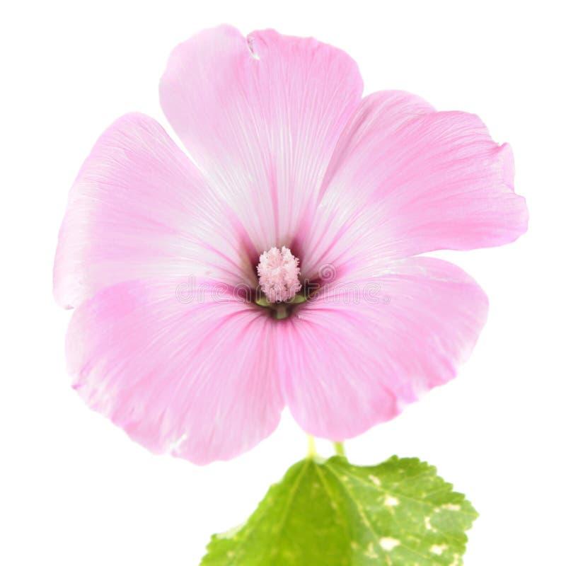 Fleur rose des trimestris de Lavatera ou de la mauve annuelle d'isolement sur le blanc images libres de droits