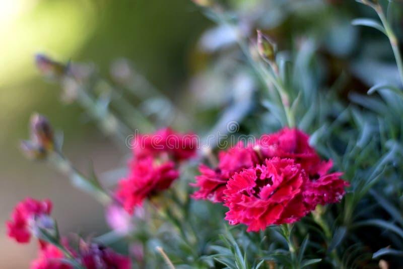 Fleur rose douce de William images libres de droits
