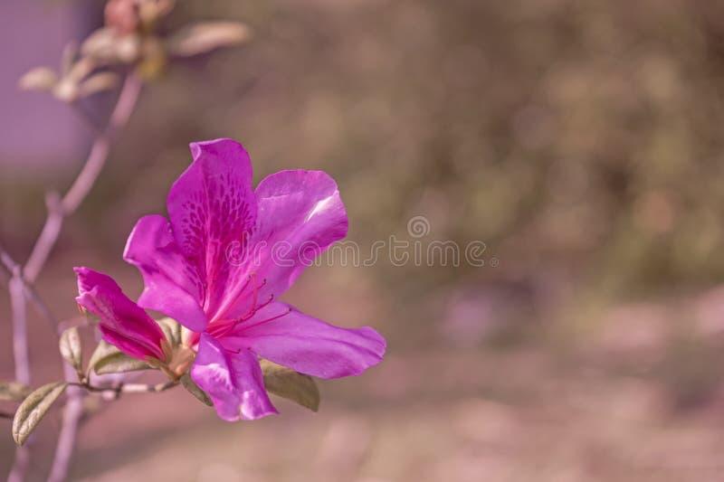Fleur rose du jardin ou de la flore végétale photos stock