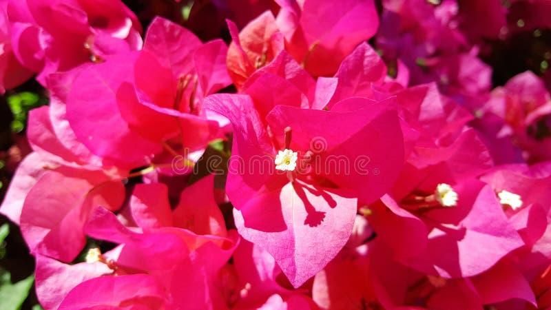 Fleur rose en gros plan de bouganvill?e photo stock