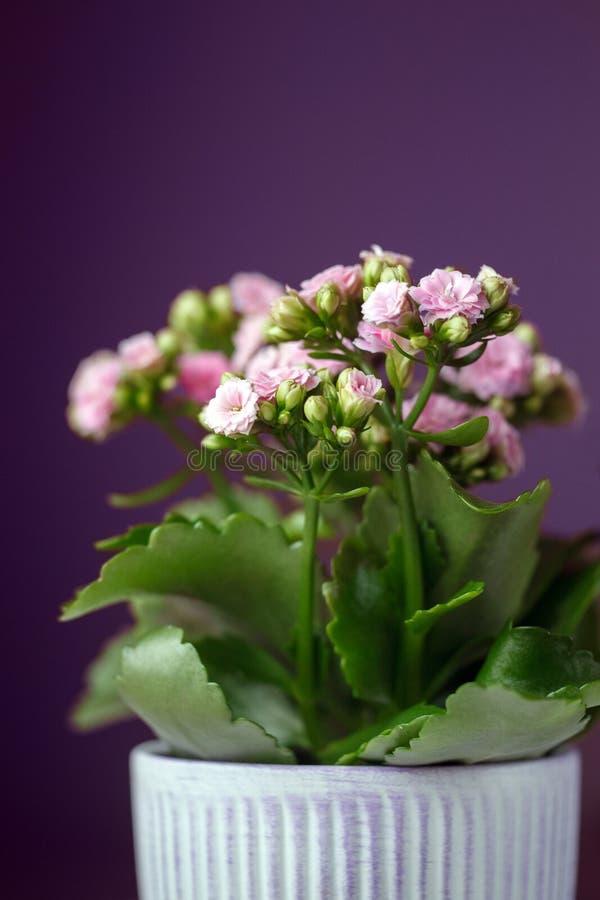 Fleur rose en gros plan de Kalanchoe avec les feuilles vertes dans un pot sur le fond violet foncé Une usine de floraison de Kala image libre de droits