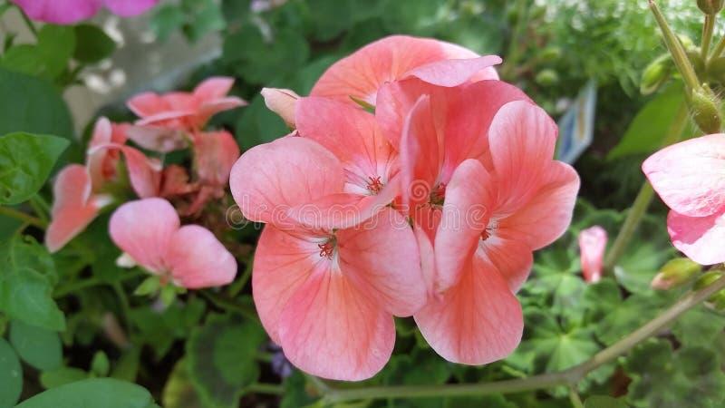 fleur rose en nature photographie stock libre de droits